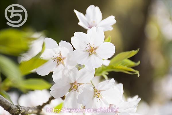 悠久山公園桜2016年四月