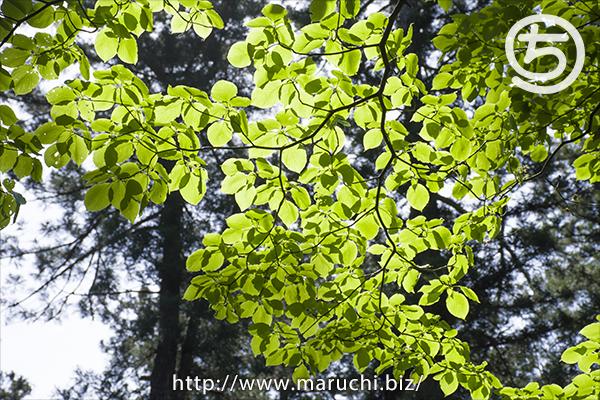 新緑の木の葉 悠久山公園2016年五月