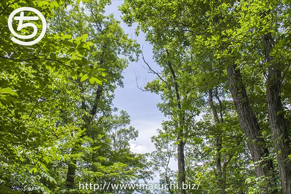越後丘陵公園自然探勝路の木々2016年六月