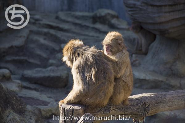 猿山のお猿さん 悠久山公園2016年11月