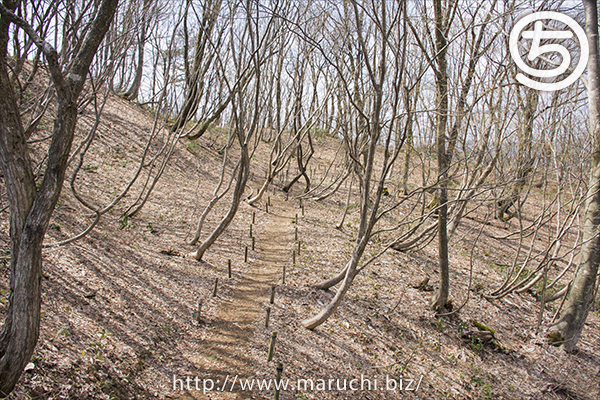 雪割草越後丘陵公園2017年三月