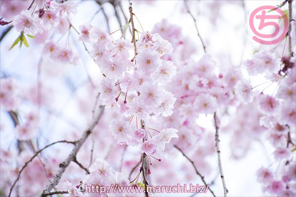 桜悠久山公園2017年四月