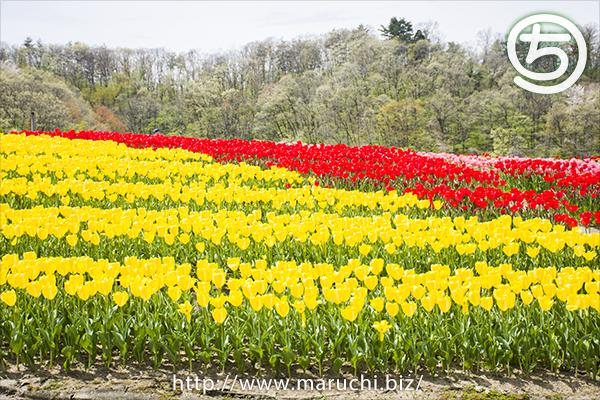 チューリップ越後丘陵公園2017年四月