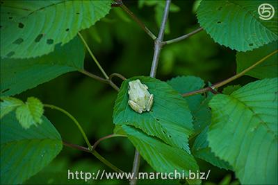 まるちimage+2016年6月撮影 カエルと木の葉