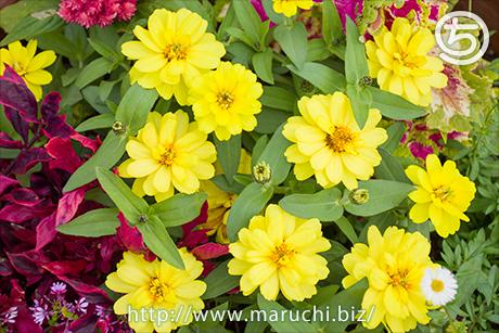 まるちimage写真素材 十月花壇の花