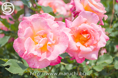 まるちimage写真素材 五月公園のバラ
