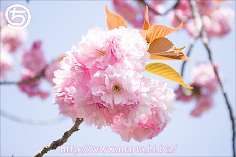 まるちimage写真素材2018年四月悠久山公園八重桜