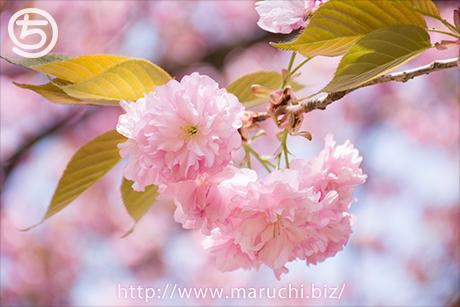 まるちimage写真素材 2018年四月悠久山公園八重桜