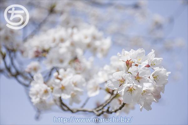 悠久山公園 桜 2018年四月