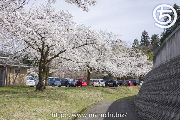 桜 悠久山公園2018年四月