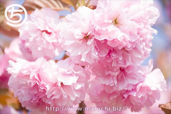 まるちimage写真八重桜