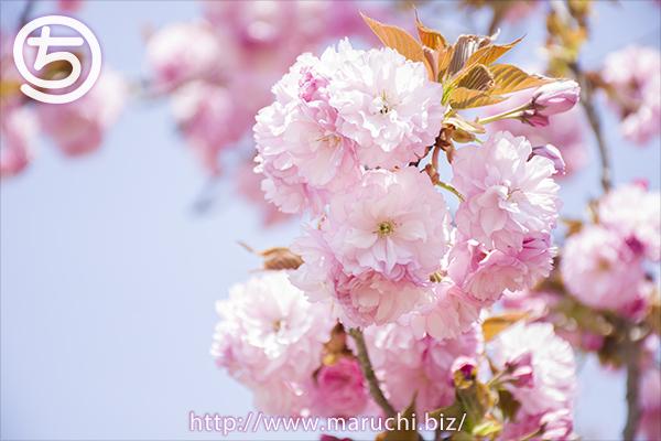 悠久山公園の八重桜公園2017年四月