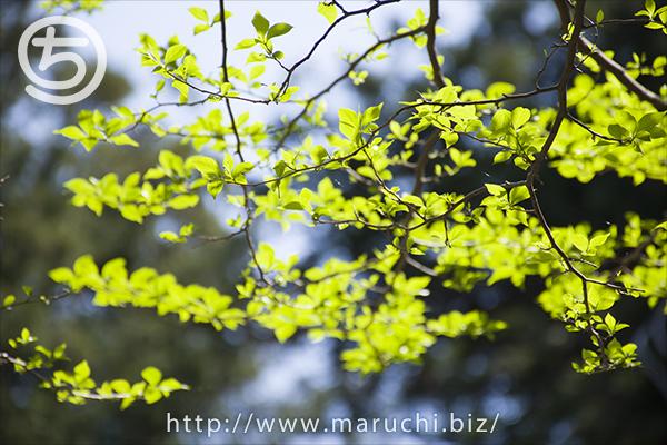 悠久山公園 木の若葉2018年四月