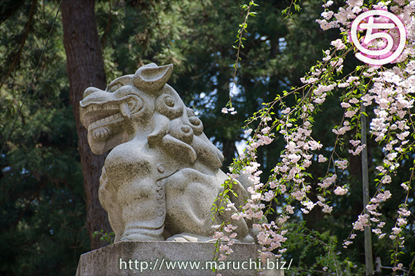 悠久山公園 しだれ桜と狛犬2018年四月