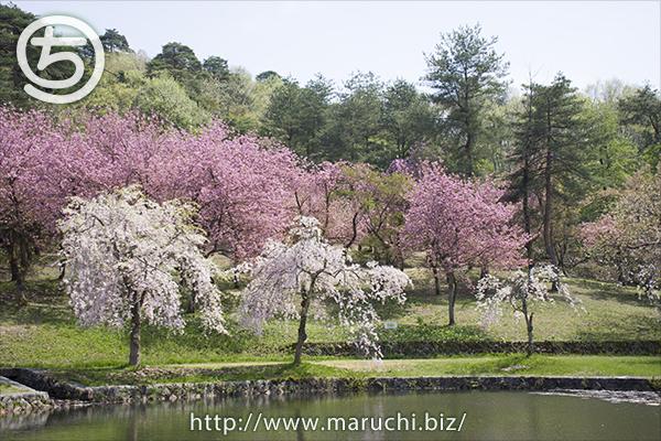 悠久山公園 しだれ桜、八重桜と木の三色団子の桜2018年四月