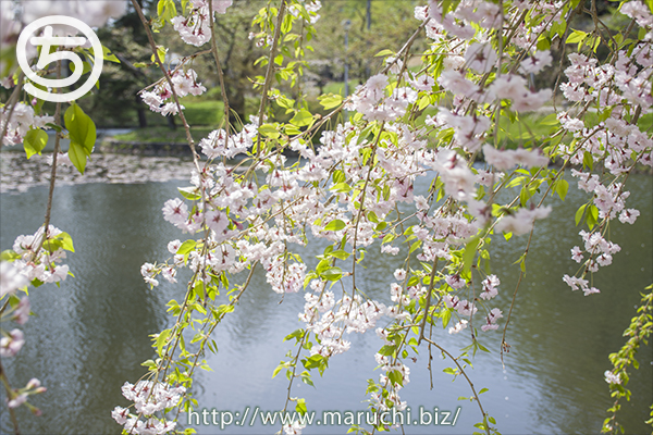 悠久山公園 しだれ桜 2018年四月