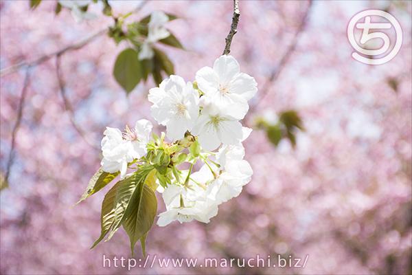 悠久山公園 八重桜を背景にした桜2018年四月
