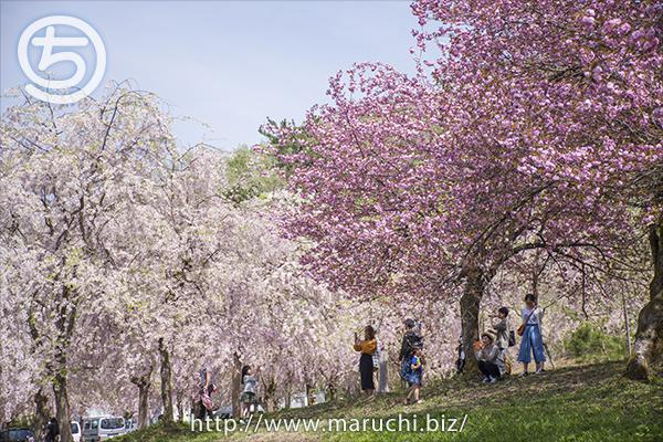 悠久山公園 八重桜と枝垂れ桜 2018年四月