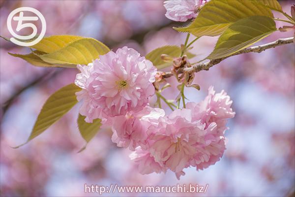 悠久山公園 八重桜2018年四月