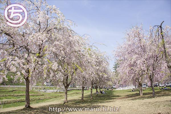 悠久山公園 枝垂れ桜の下でお花見をする人2018年四月