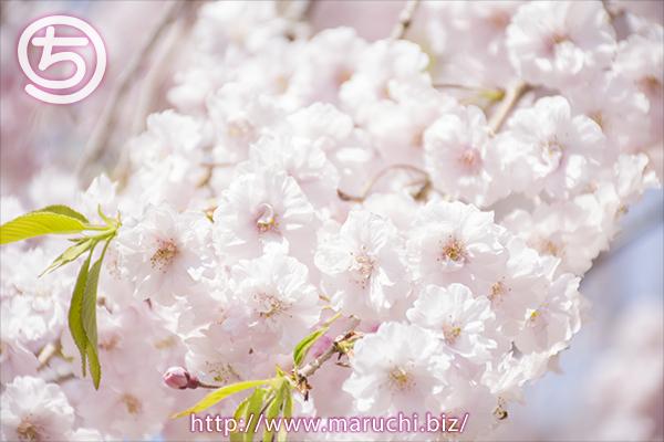 しだれ桜 悠久山公園2018年四月