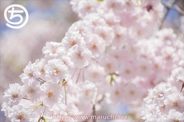 桜悠久山公園2018年四月