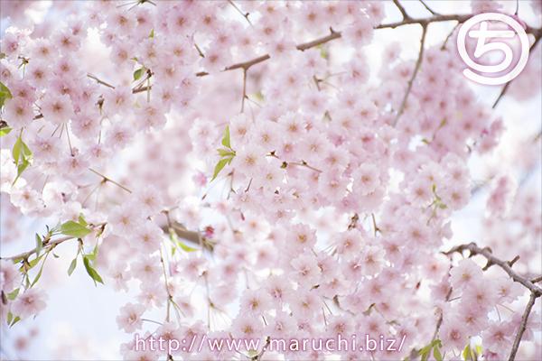 悠久山公園しだれ桜2018年四月