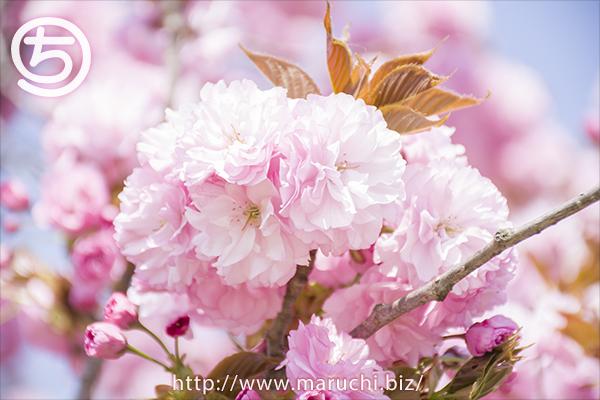 八重桜悠久山公園2018年四月