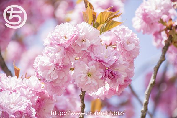 悠久山公園 八重桜 2018年四月