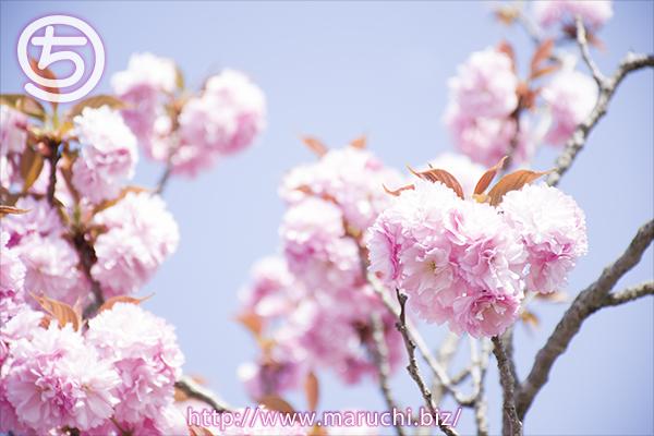 八重桜 悠久山公園2018年四月