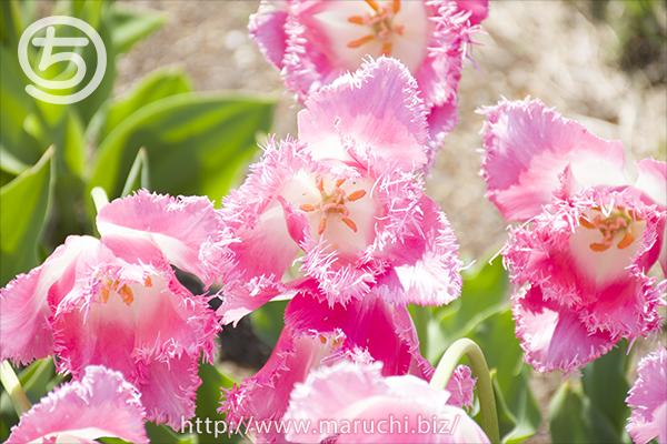 越後丘陵公園フリンジ咲きチューリップ2018年四月