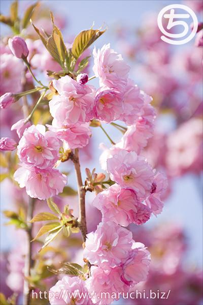 越後丘陵公園八重桜2018年四月