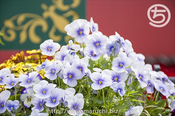 見附イングリッシュガーデン薄紫の花2018年五月