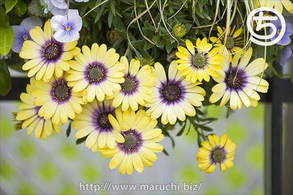見附イングリッシュガーデン黄色の花2018年五月