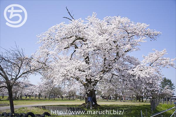 桜の木 悠久山公園2019年四月