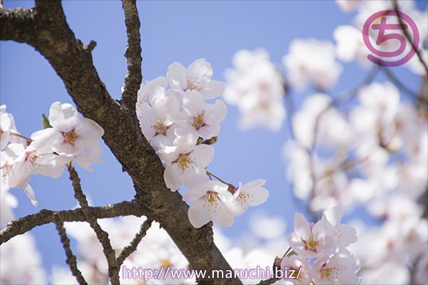 青空の桜 悠久山公園2019年四月