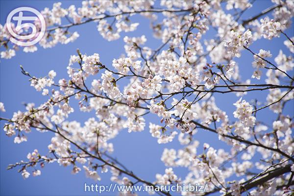 桜 悠久山公園2019年四月