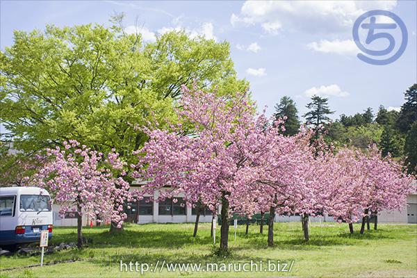 八重桜 悠久山公園2019年四月