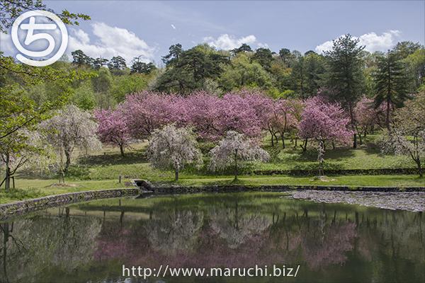 悠久山公園 八重桜としだれ桜と池 2019年四月