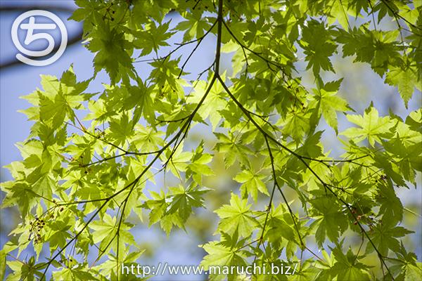 悠久山公園 新緑の木々 2019年四月