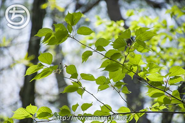 新緑の木 悠久山公園2019年四月