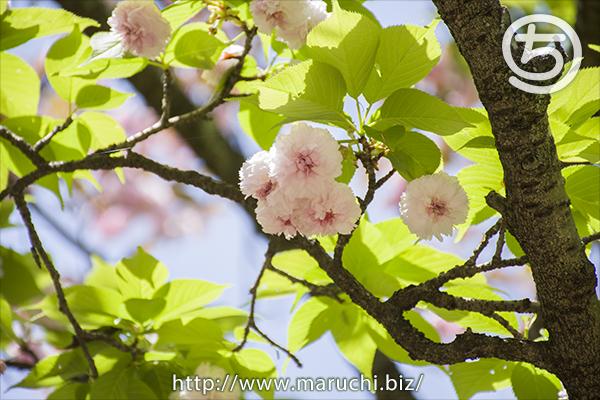 悠久山公園 花と新緑の葉2019年四月