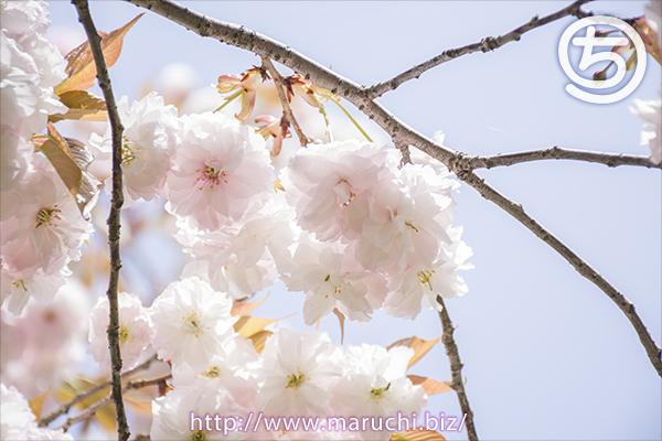 悠久山公園 八重桜 2019年四月