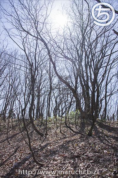 越後丘陵公園雪割草2020年三月